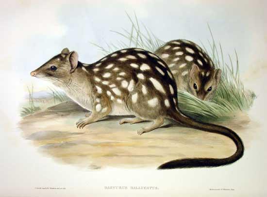 Depiction of Dasyurus hallucatus
