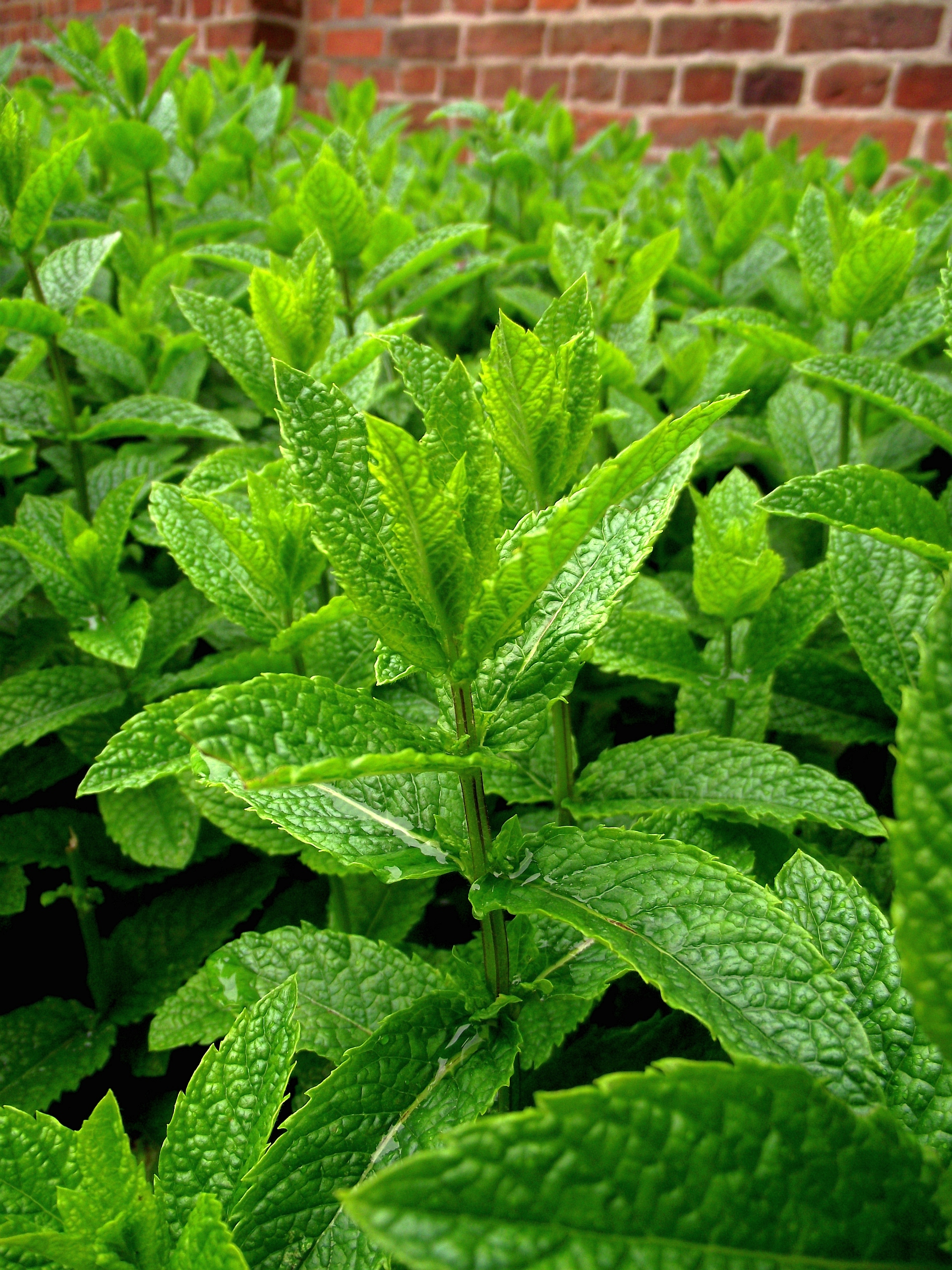 The peppermint mentha piperita history essay