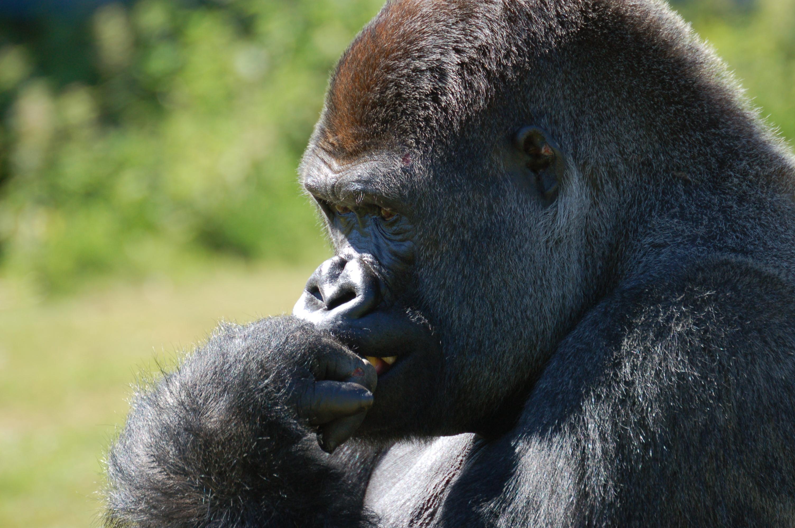 Lowland Gorilla. Photo: Wikipedia