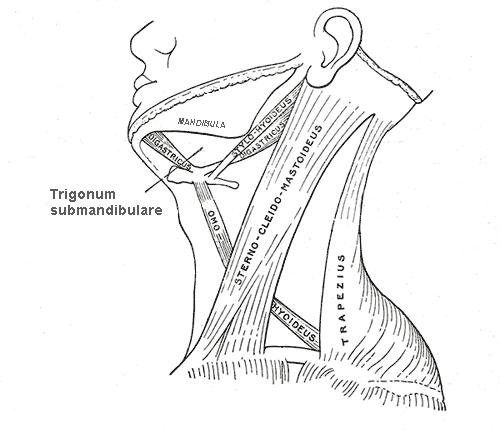 Trigonum submandibulare – Wikipedia