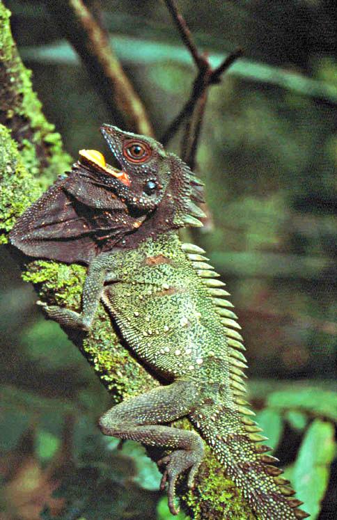 Lophosaurus dilophus - Wikipedia