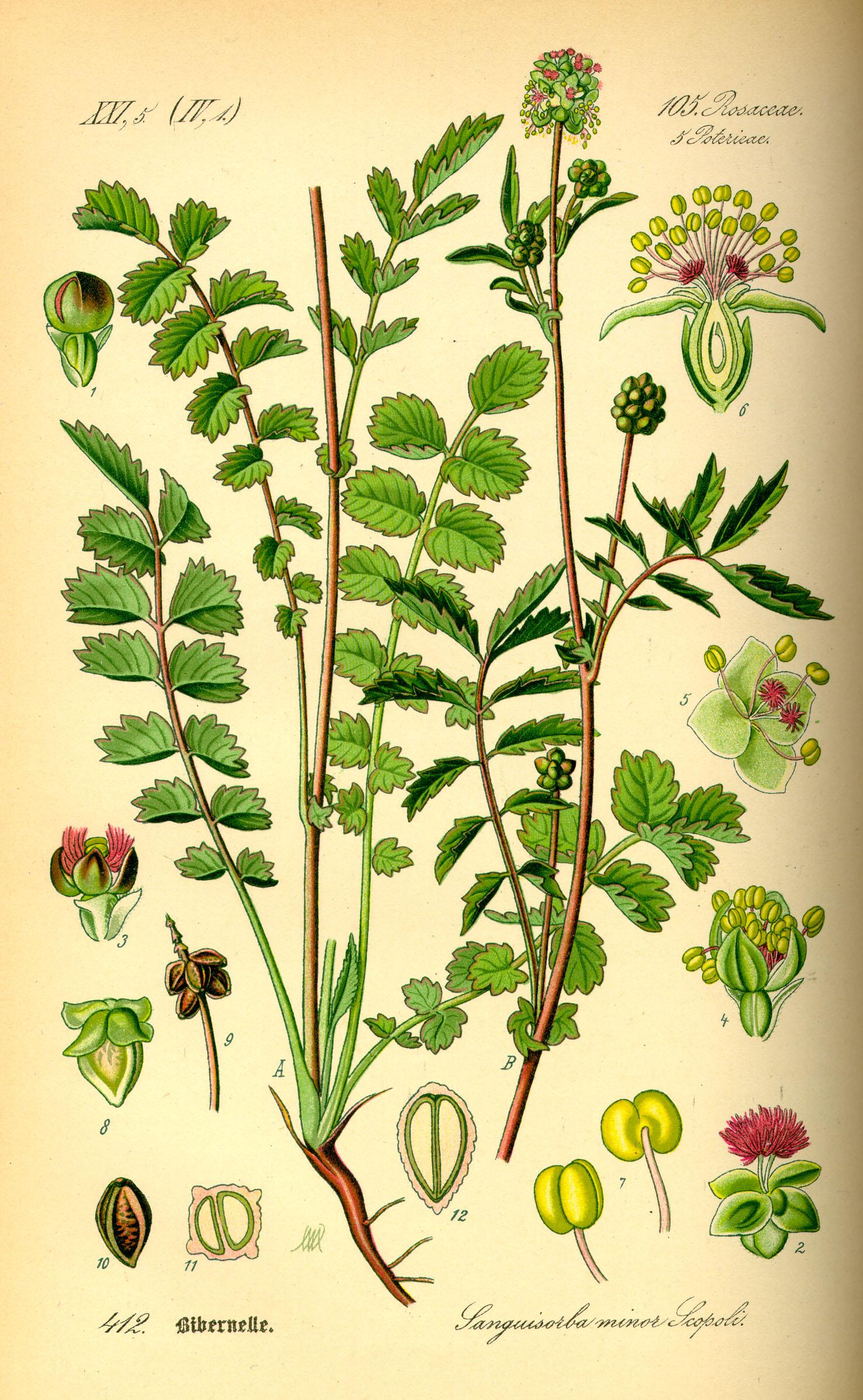File:Illustration Sanguisorba minor0.jpg - Wikimedia Commons