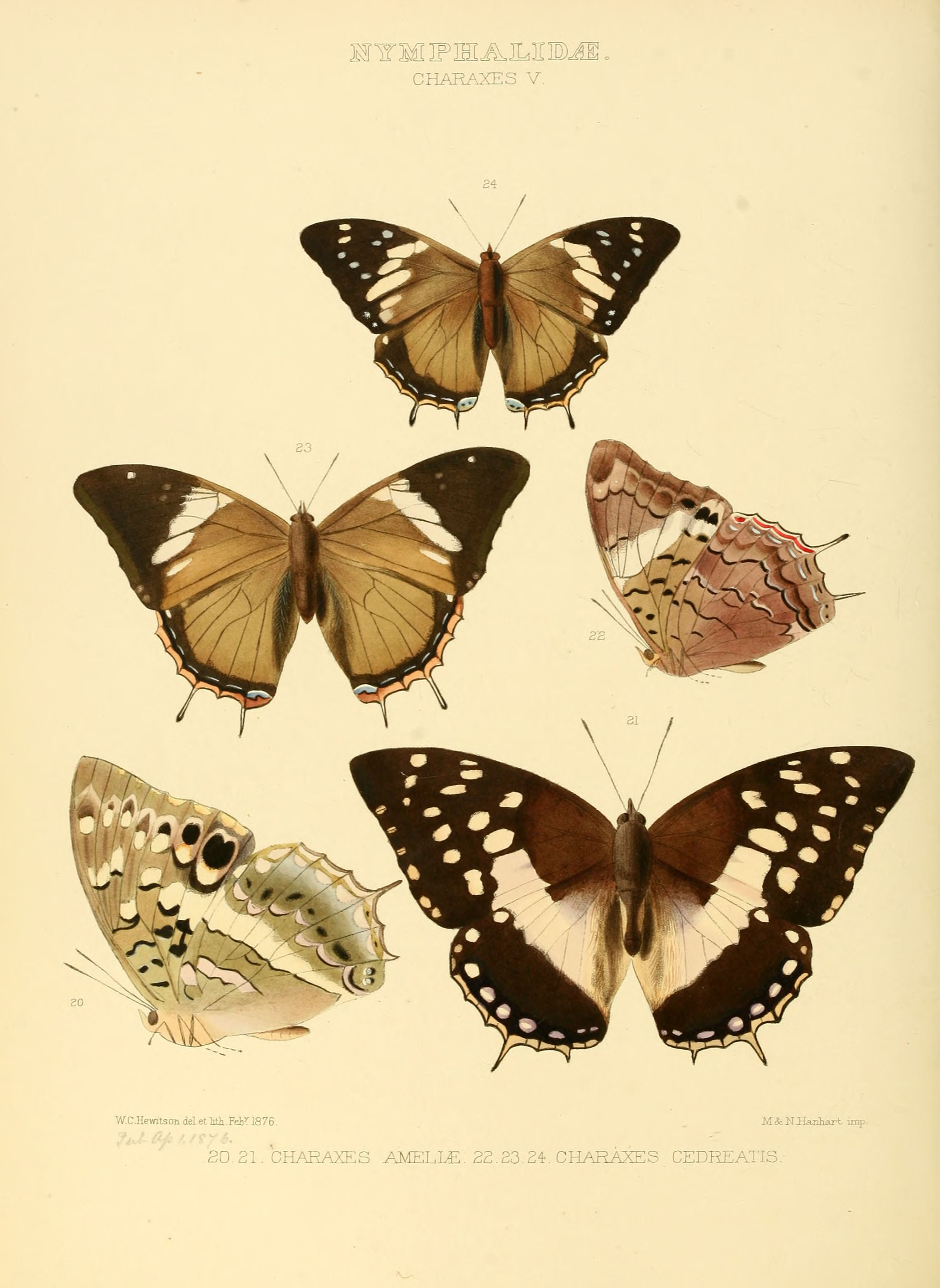 File Illustrations Of New Species Of Exotic Butterflies Charaxes V Jpg Wikimedia Commons