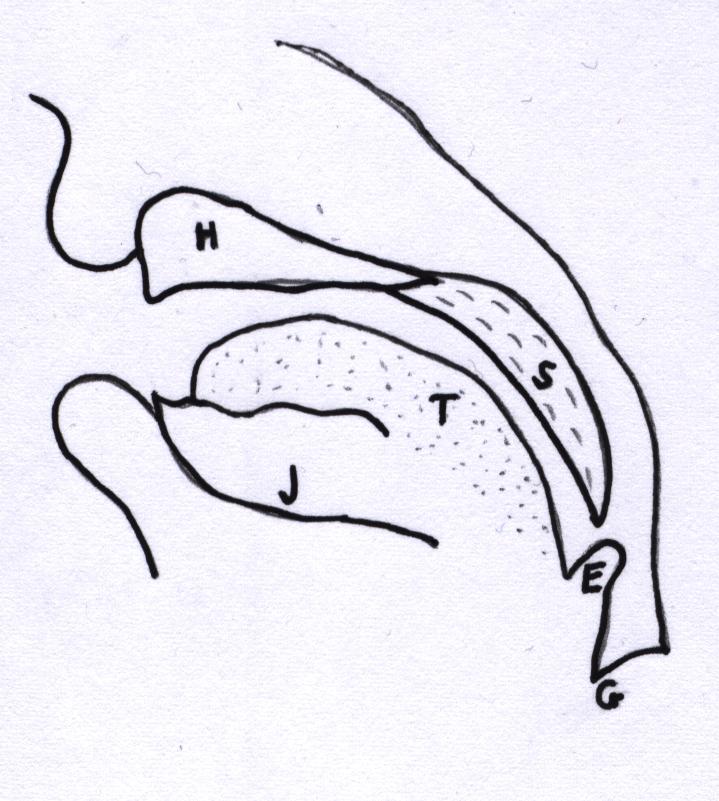 Fig. 3. Infant vocal tract: H = hard palate, S = soft palate, T = tongue, J = jaw, E = epiglottis, G = glottis; After Vihman (1996)