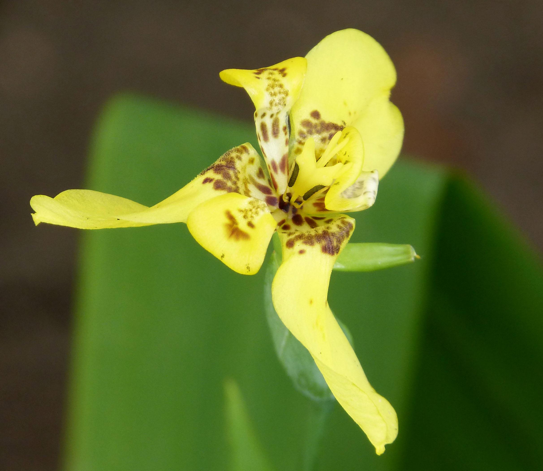 Fileiridaceae trimezia steyermarkii yellow walking iris flickr fileiridaceae trimezia steyermarkii yellow walking iris flickr gailhampshireg izmirmasajfo