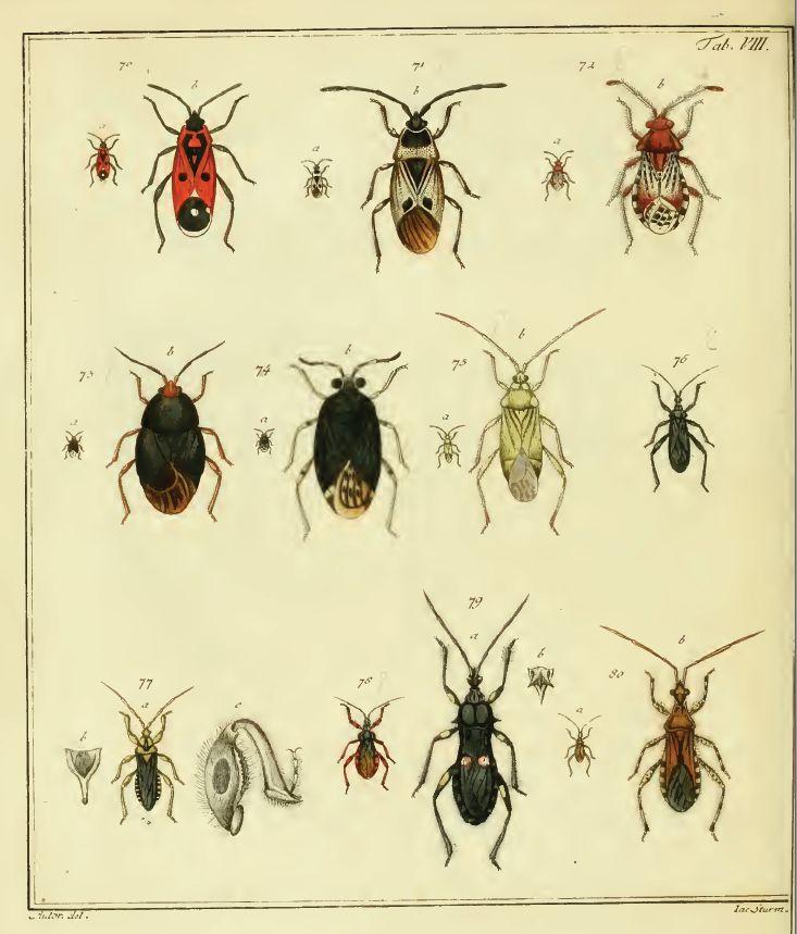 Plate VIII from ''Icones Cimicum descriptionibus illustratae''