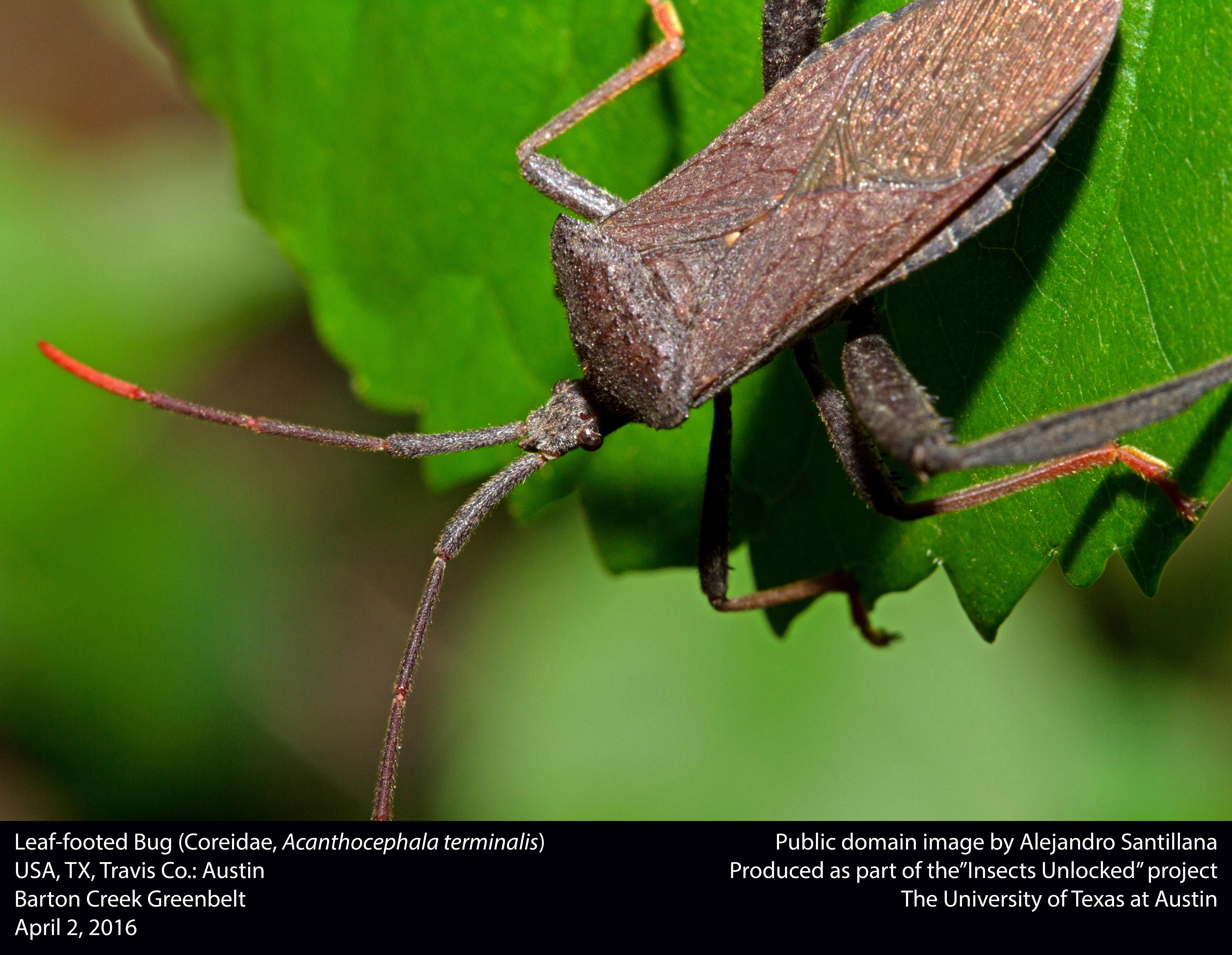 File:Leaf-footed bug (Coreidae, Acanthocephala terminalis ...
