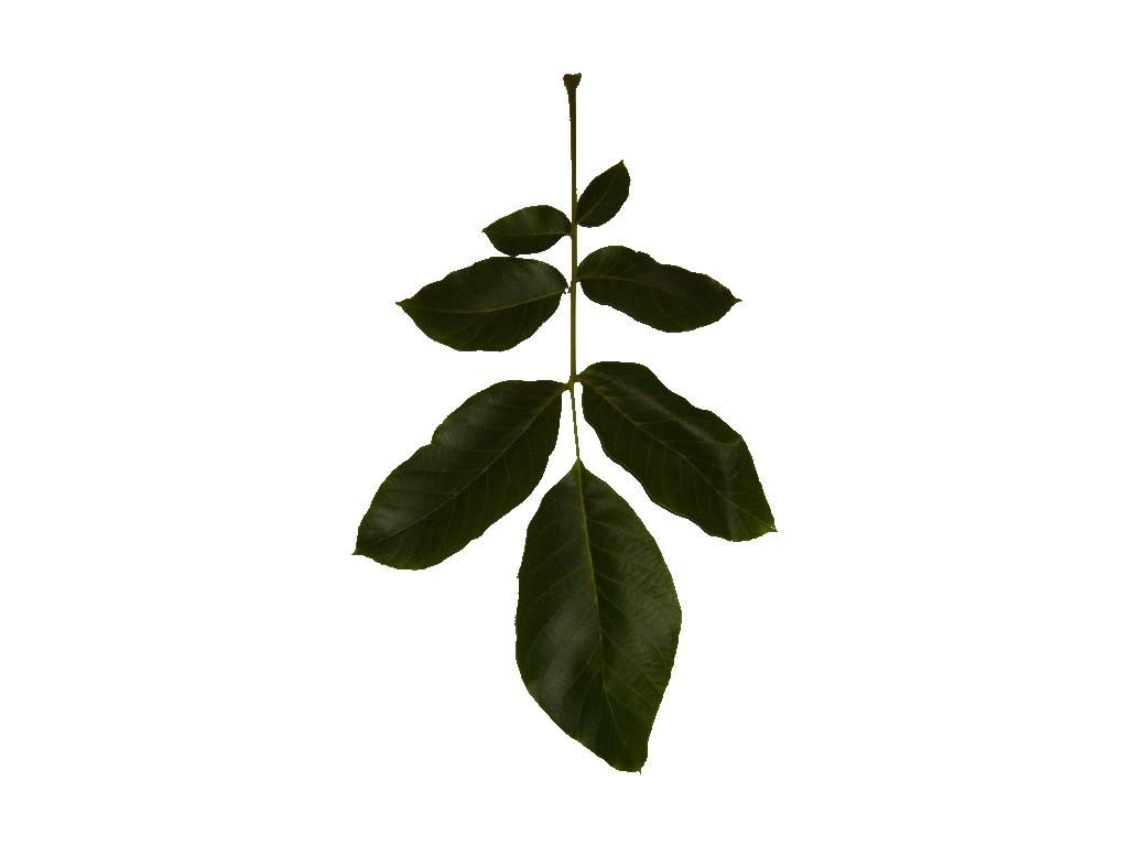 File Leaf Branch Texture Jpg Wikimedia Commons