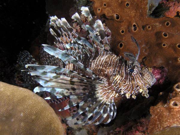 Lionfish komodo