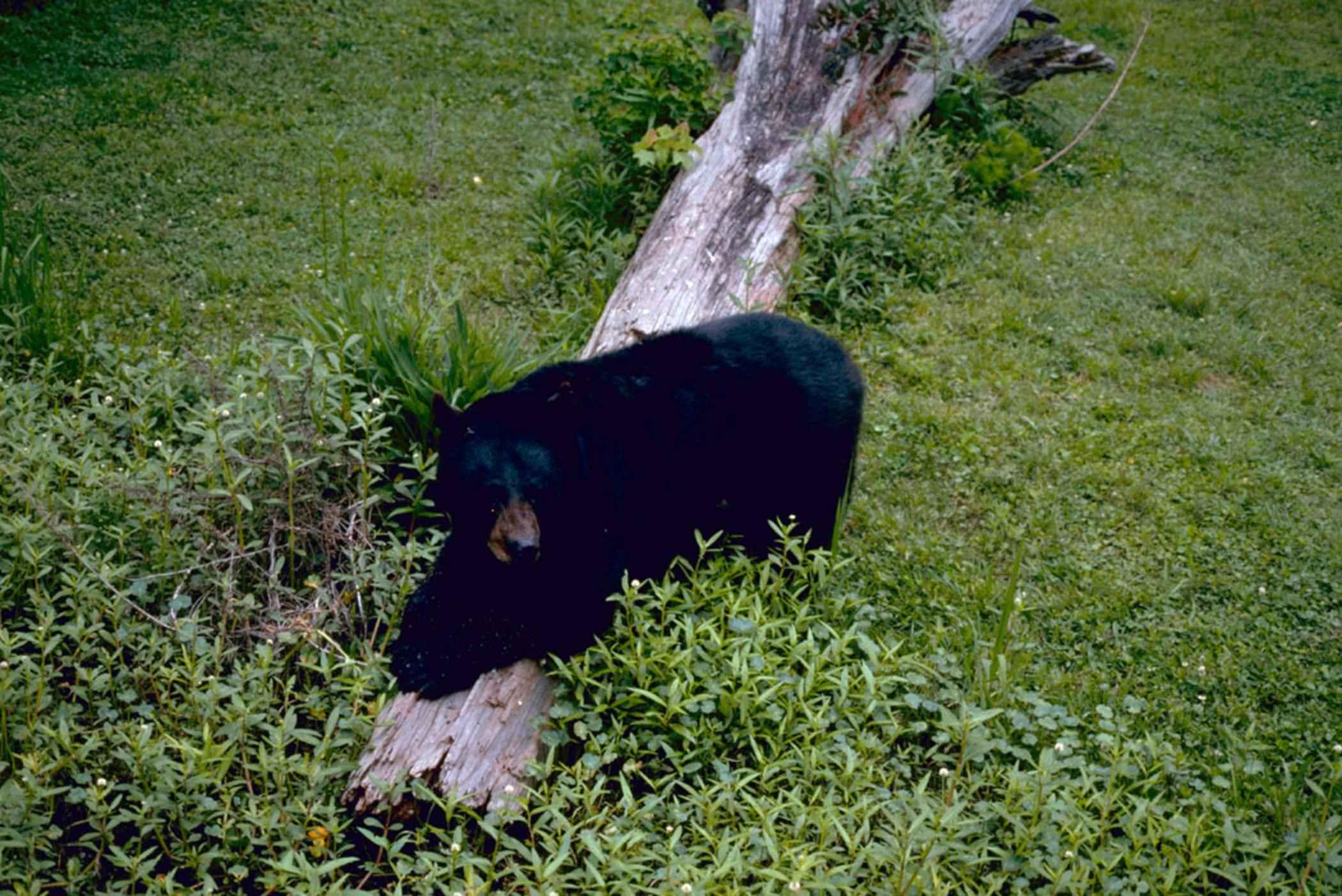 Louisiana black bear.jpg