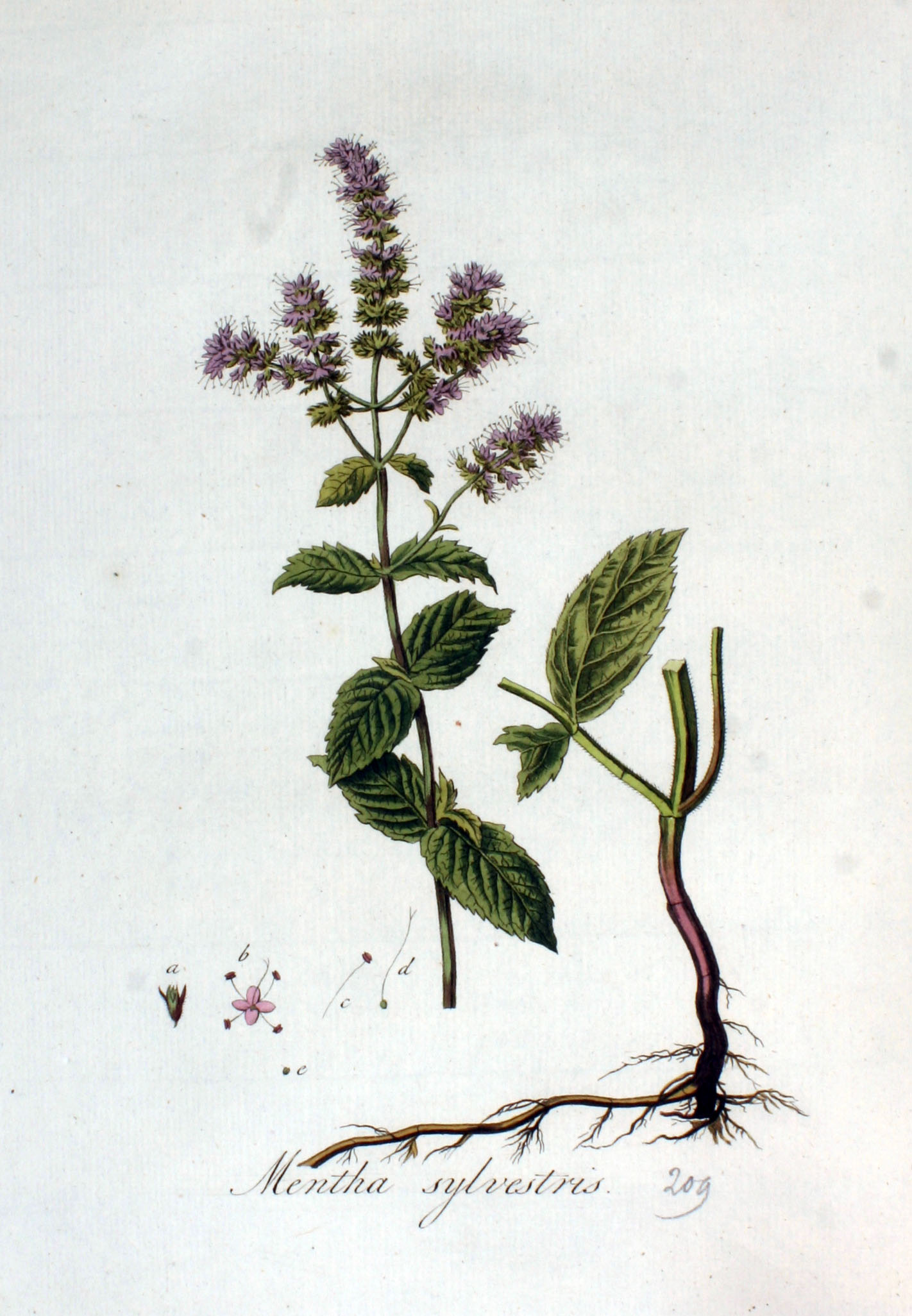 Menthe sylvestre - Wikiwand