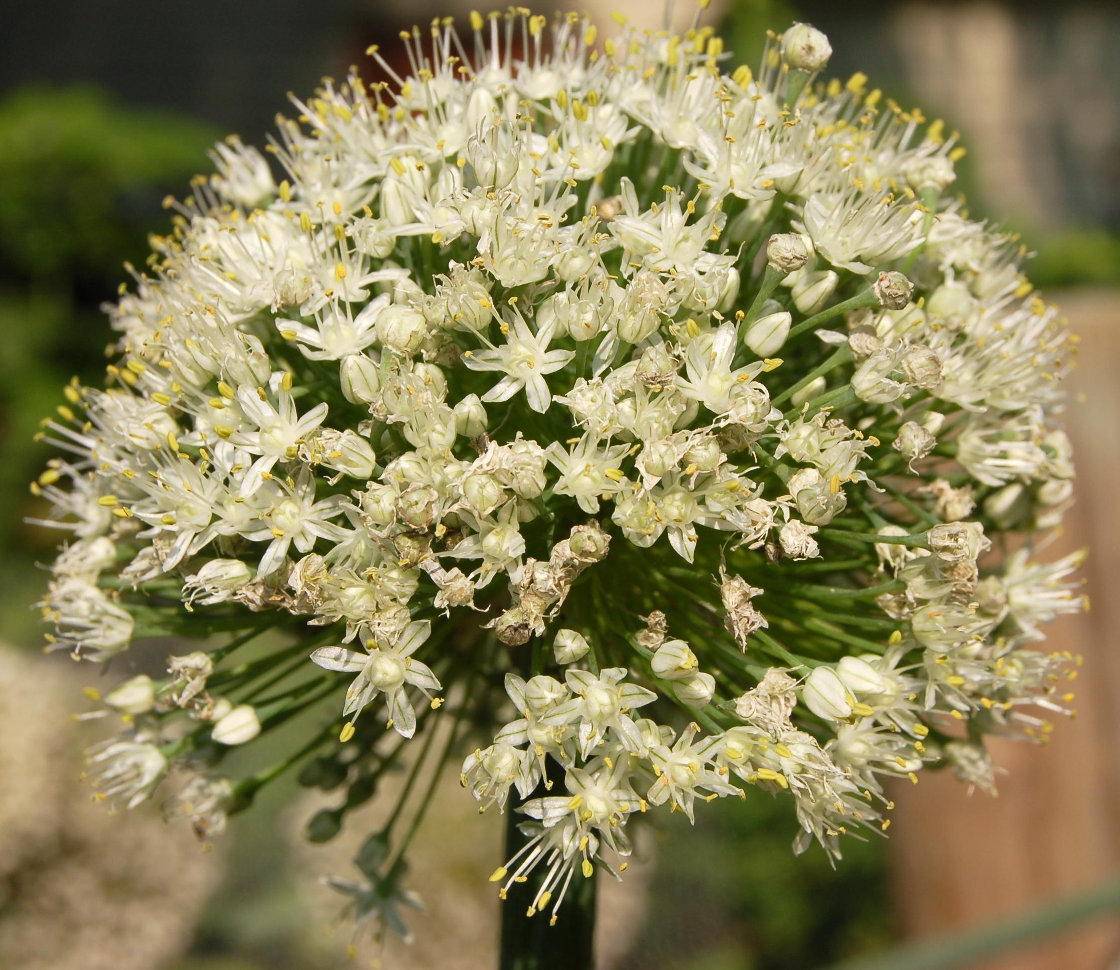 File:Onion Flower Head...