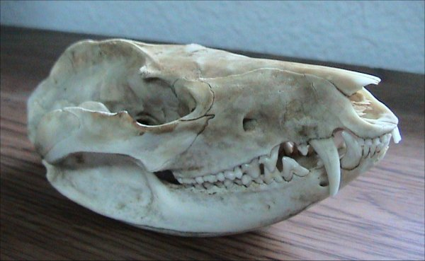 possum skull by Dawson at en.wikipedia