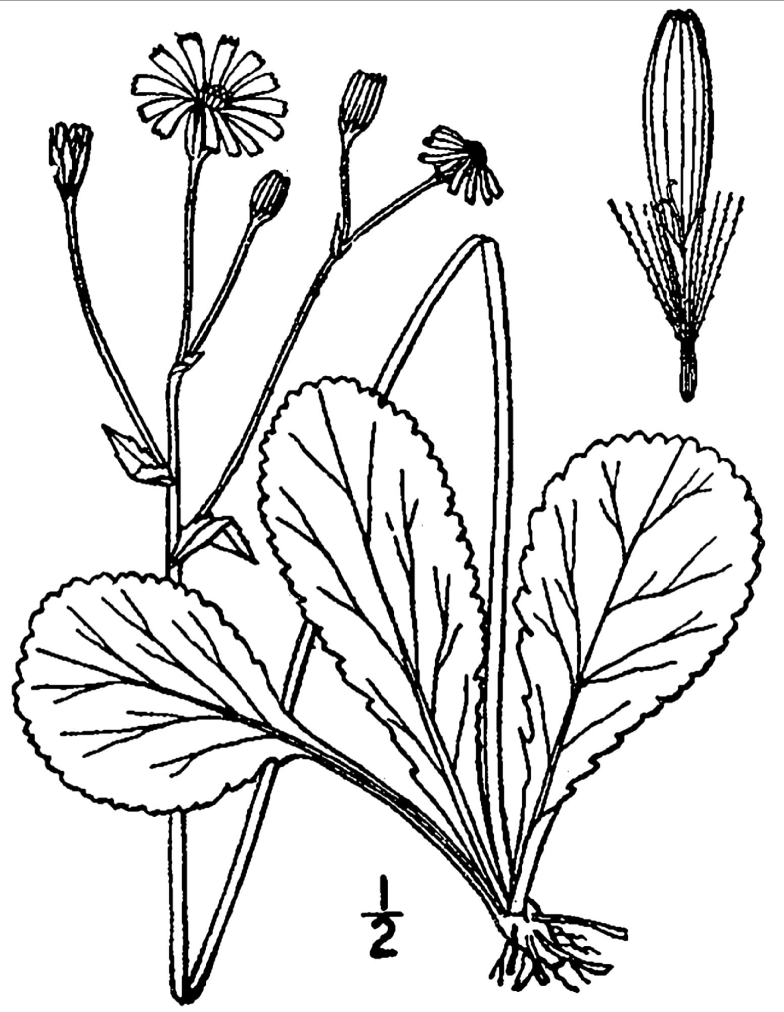 Packera obovata (Muhl. ex Willd.) W.A. Weber & A. Löve - Checklist ...