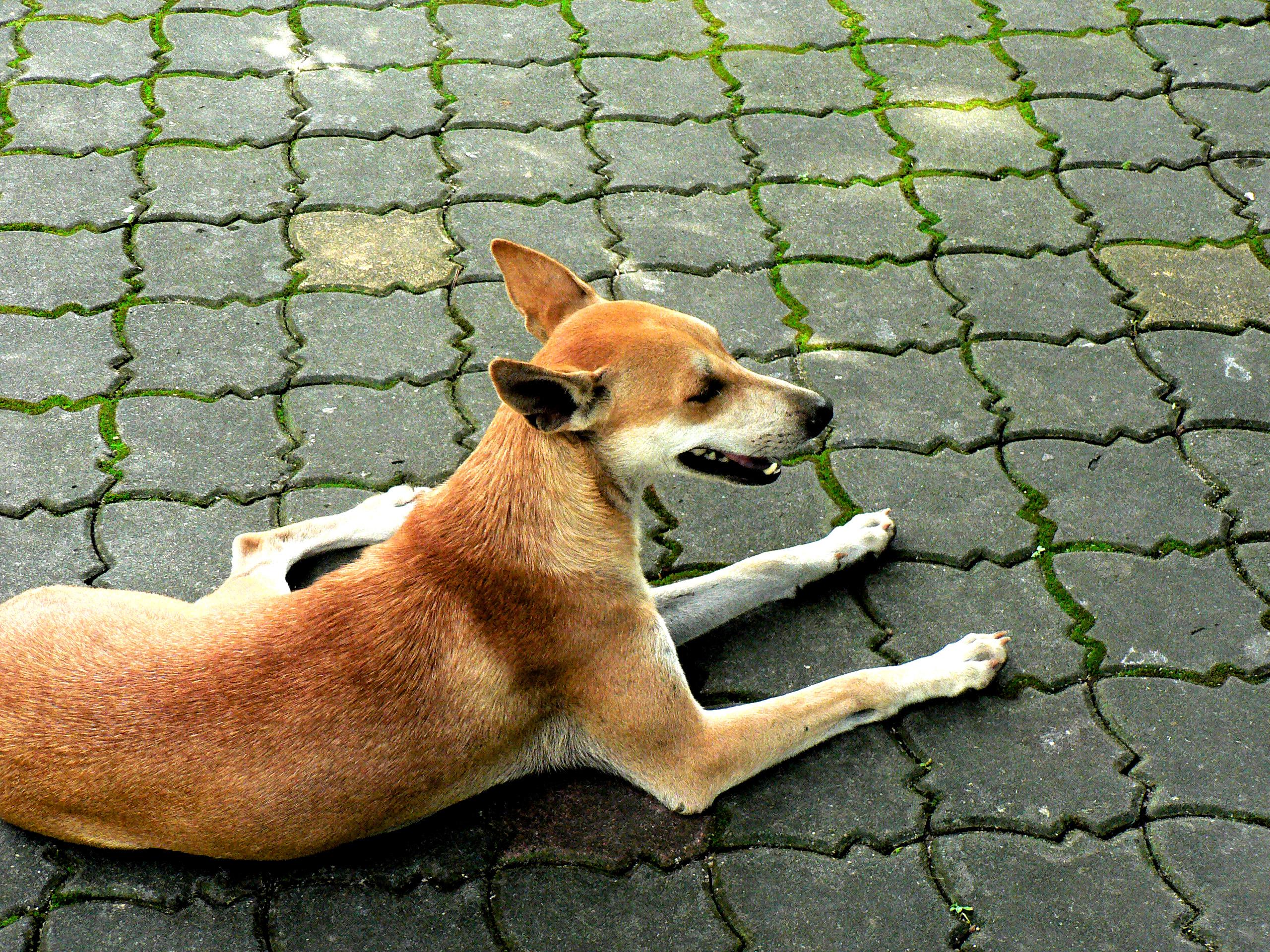 Perro feral en Penang, Malasia