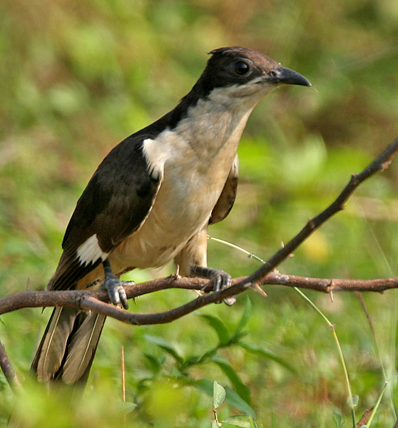 File:Pied Cuckoo (Clamator jacobinus) in AP W IMG 4009.jpg