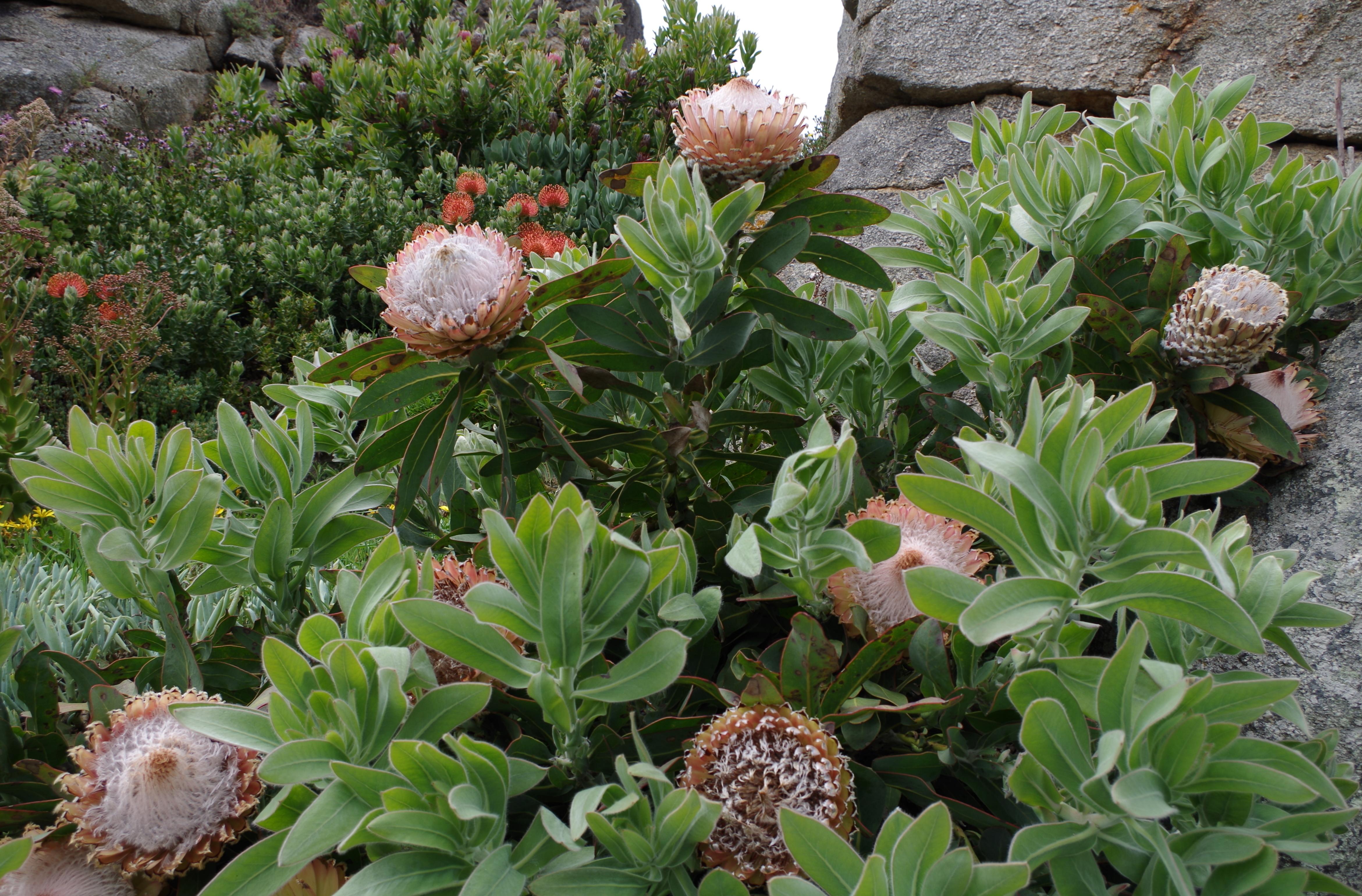 File protea jardin exotique de roscoff jpg wikimedia commons - Jardin exotique de roscoff paris ...