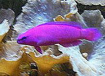 Pseudochromis fridmani.JPG