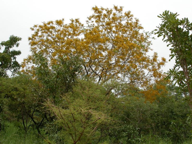 Pterocarpus family Tonewood Profile Paduak Narra