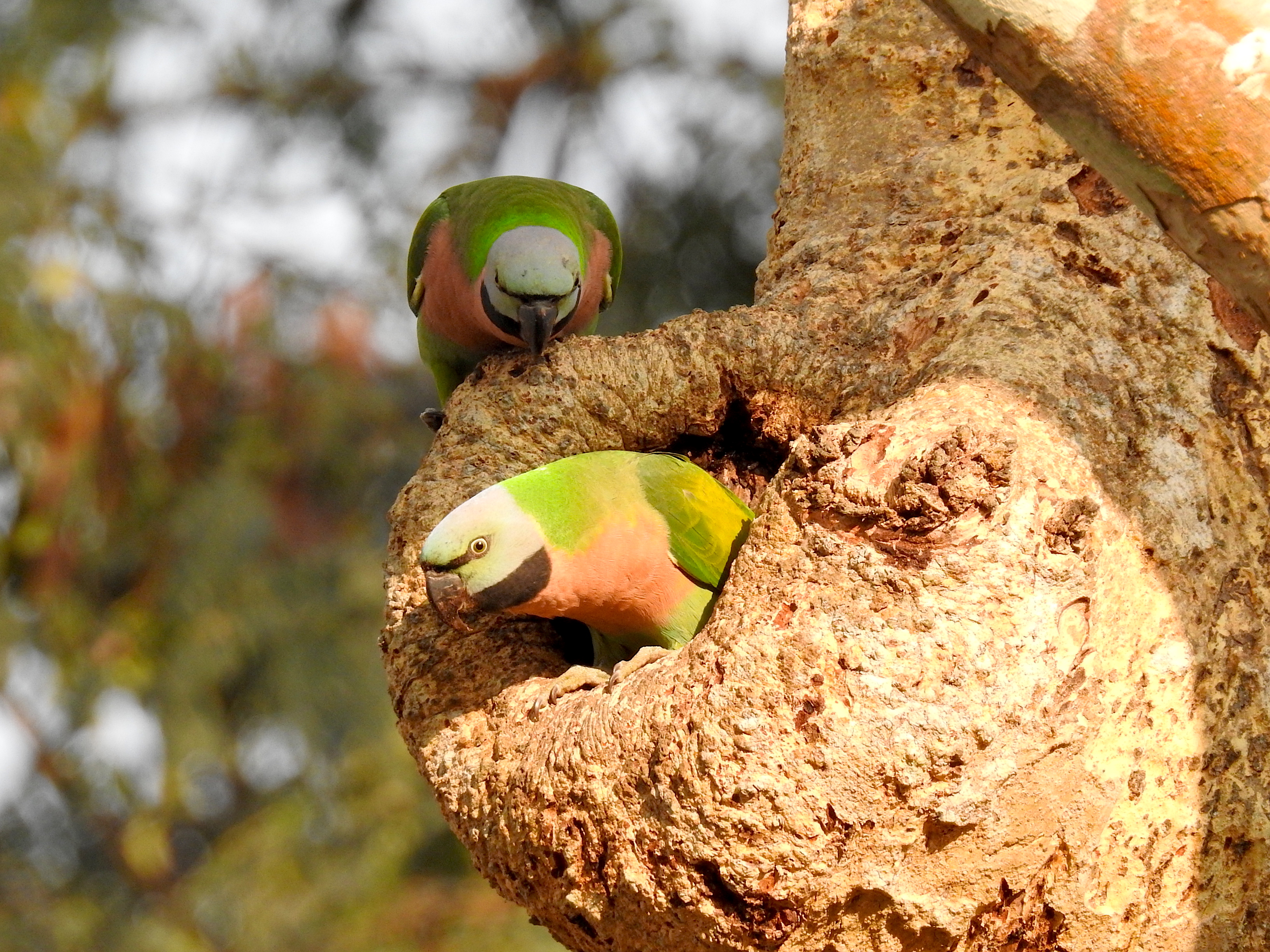 File:Red-breasted parakeets jpg - Wikimedia Commons