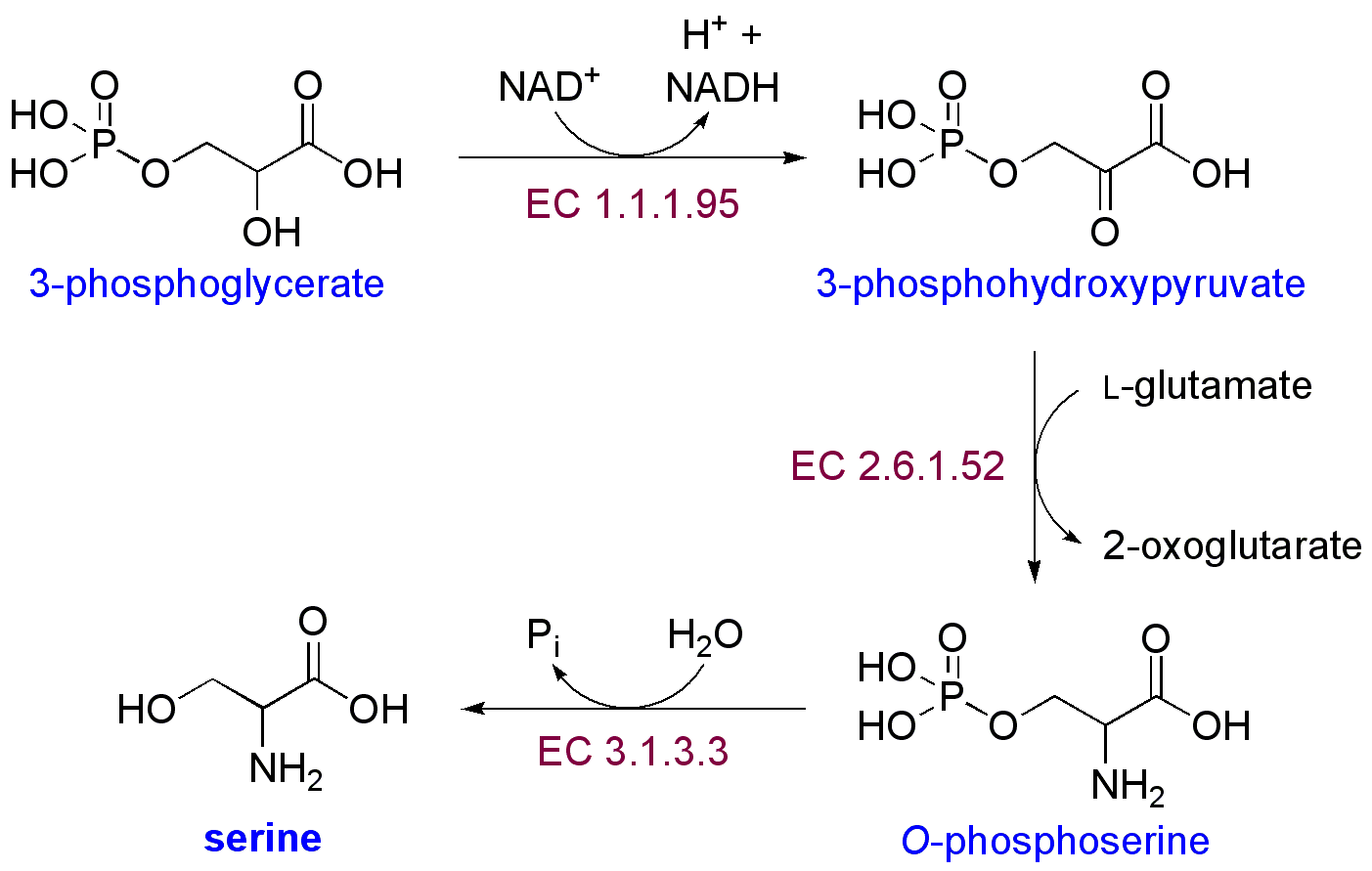 epinephrine peptide or steroid hormone
