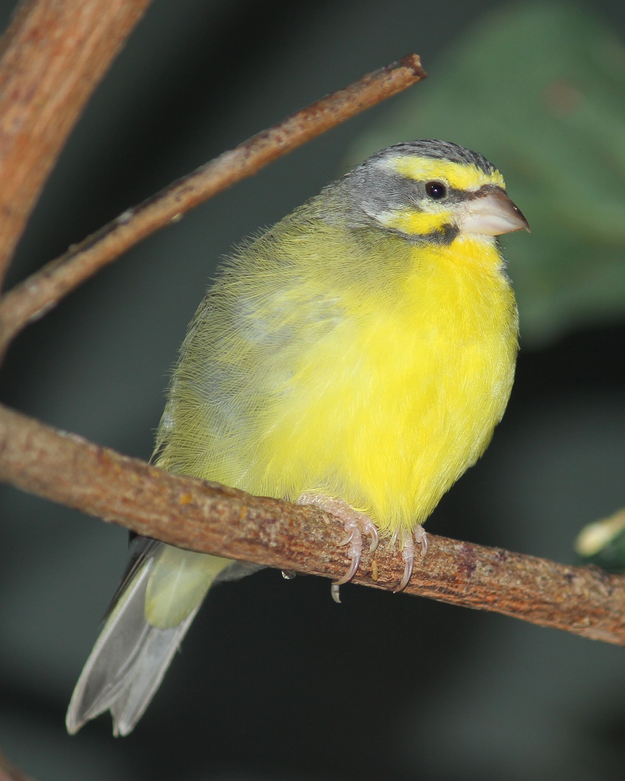 Yellow Fronted Canary Wikipedia