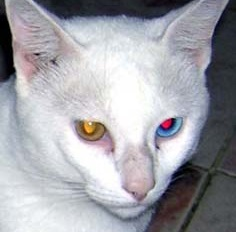This odd-eyed cat displays red-eye effect of its tapetum lucidum only in its blue eye