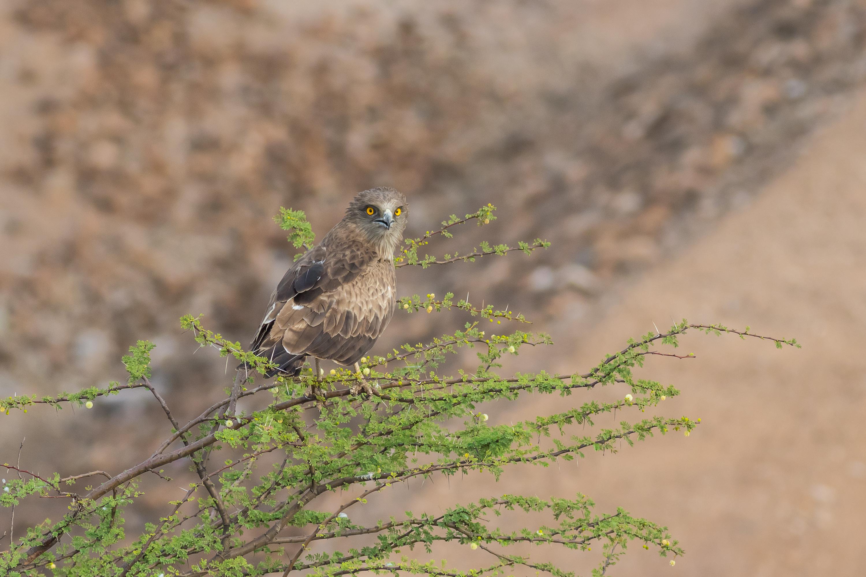 File:Short-toed Snake Eagle-7459.jpg - Wikimedia Commons