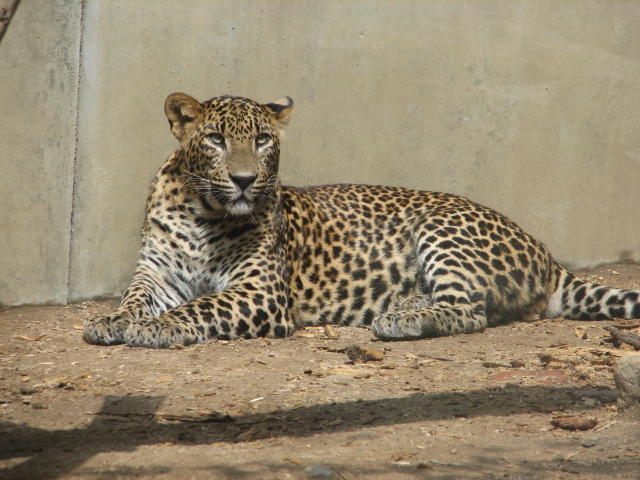 Sri Lanka Leopard Wikipedia