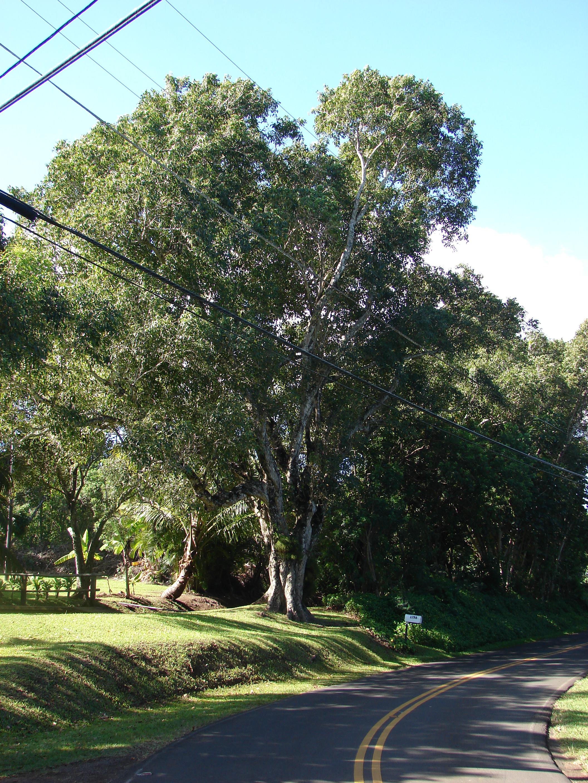 Syzygium Cumini Wikiwand