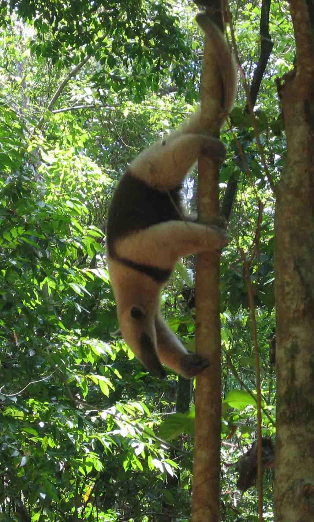 http://upload.wikimedia.org/wikipedia/commons/6/63/Tamandua_anteater_Costa_Rica.jpg