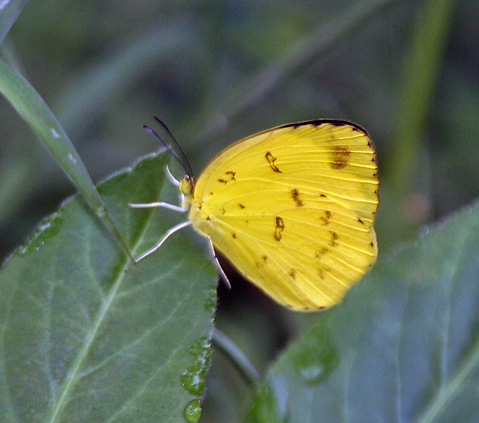 Fasciculus:Three-spot Grass yellow (Eurema blanda) in Kolkata Iws IMG 0318.jpg