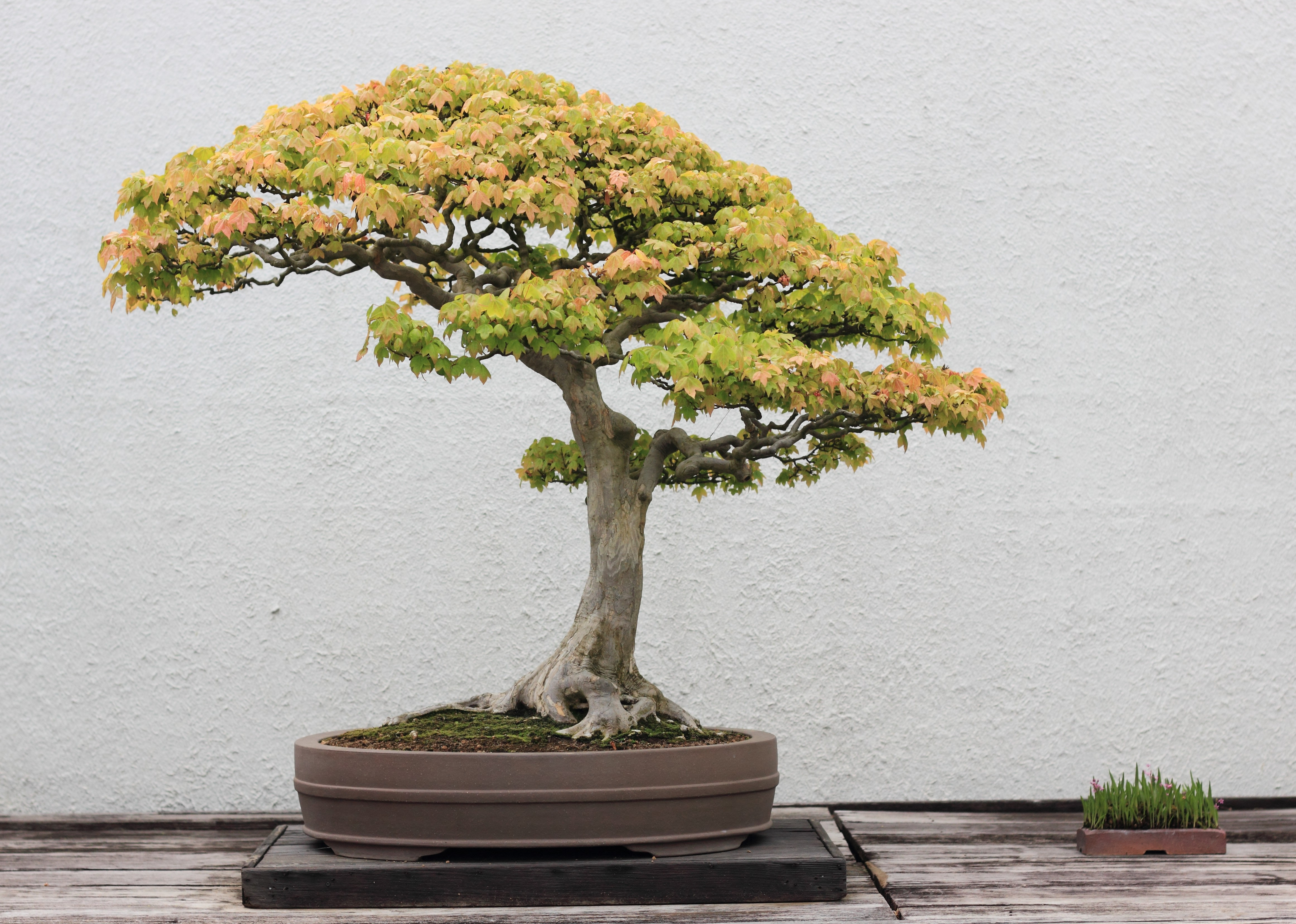 File trident maple bonsai 52 30 april 2012 jpg for Different kinds of bonsai trees