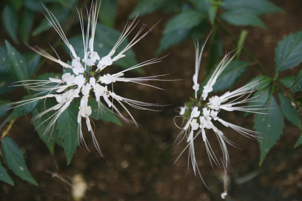Filewhite flowers with long spikey petalsg wikimedia commons filewhite flowers with long spikey petalsg mightylinksfo