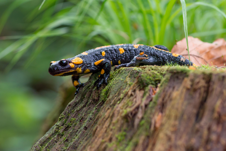salamandra dating christian dating uncertainty