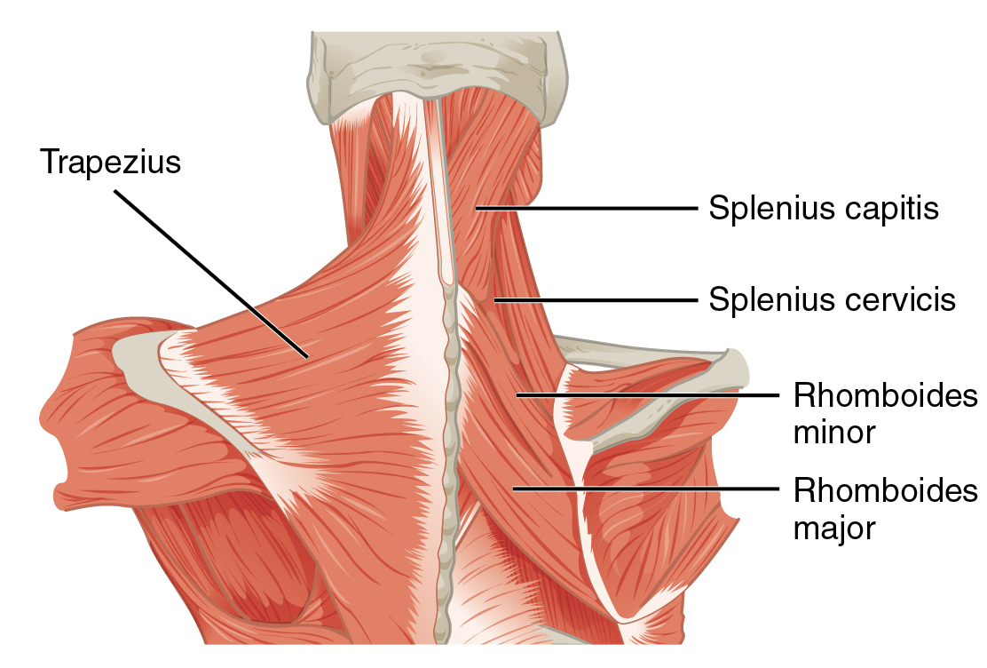 File1117 Muscles Of The Neck Upper Backg Wikimedia Commons