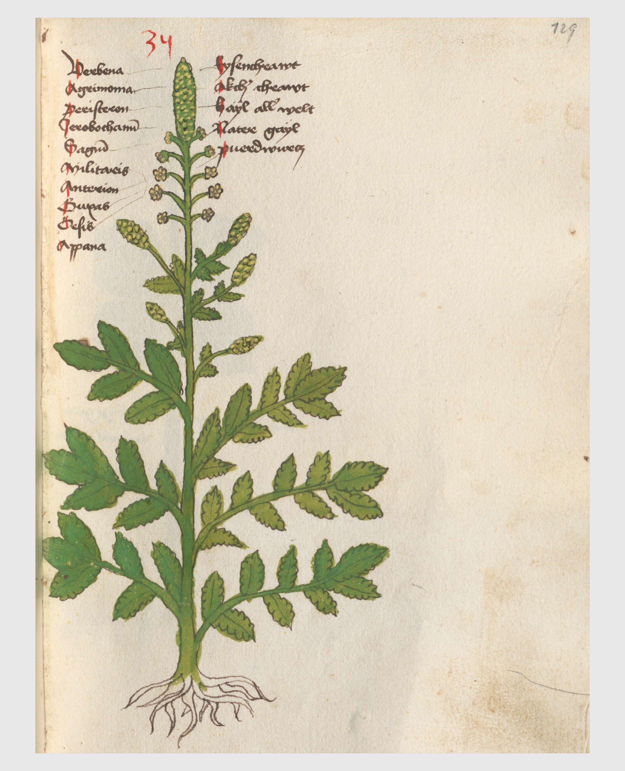 Datei20 Auslasser Agrimonia eupatoria.jpg – Wikipedia