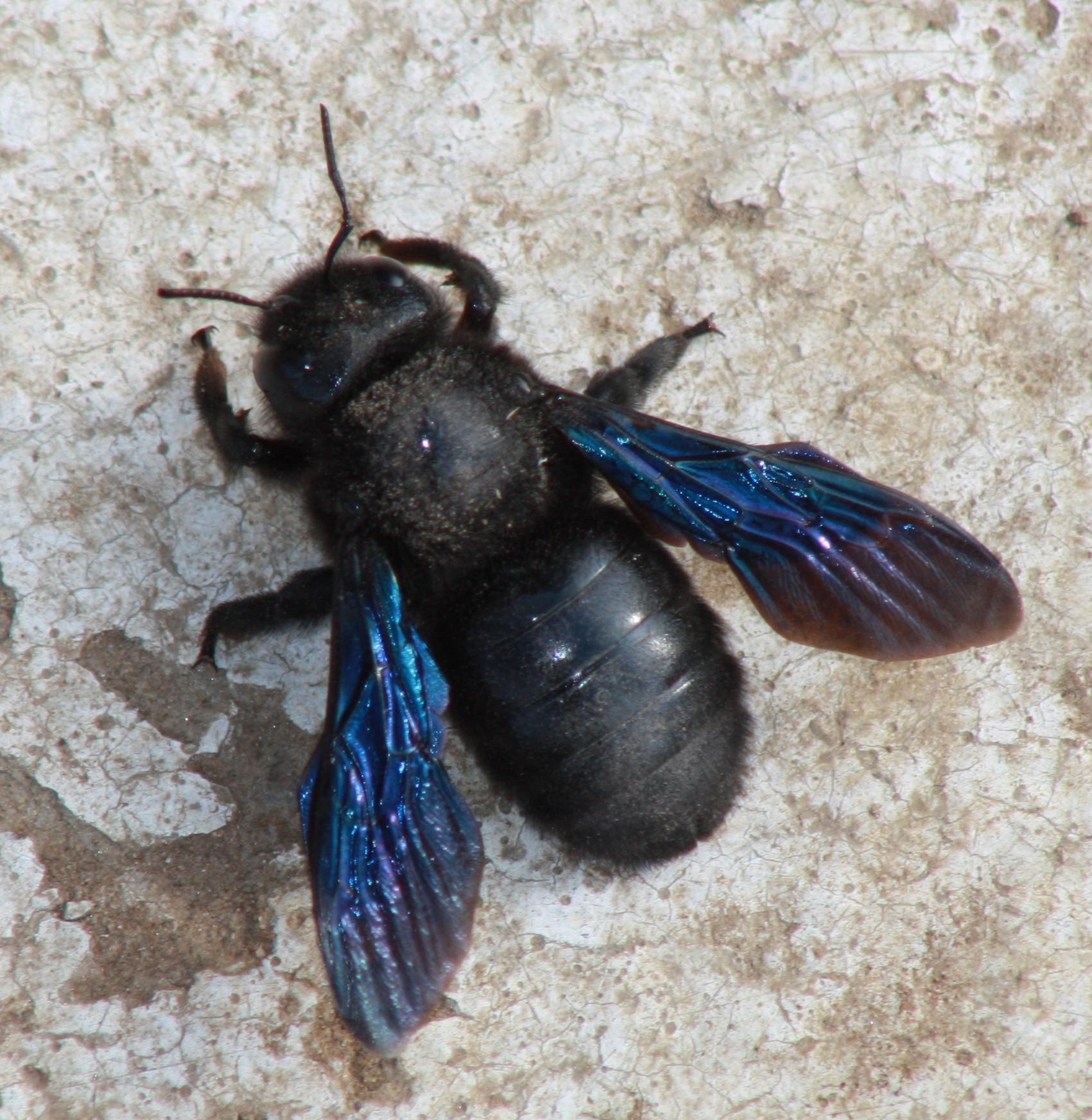 Carpenter bees - photo#19