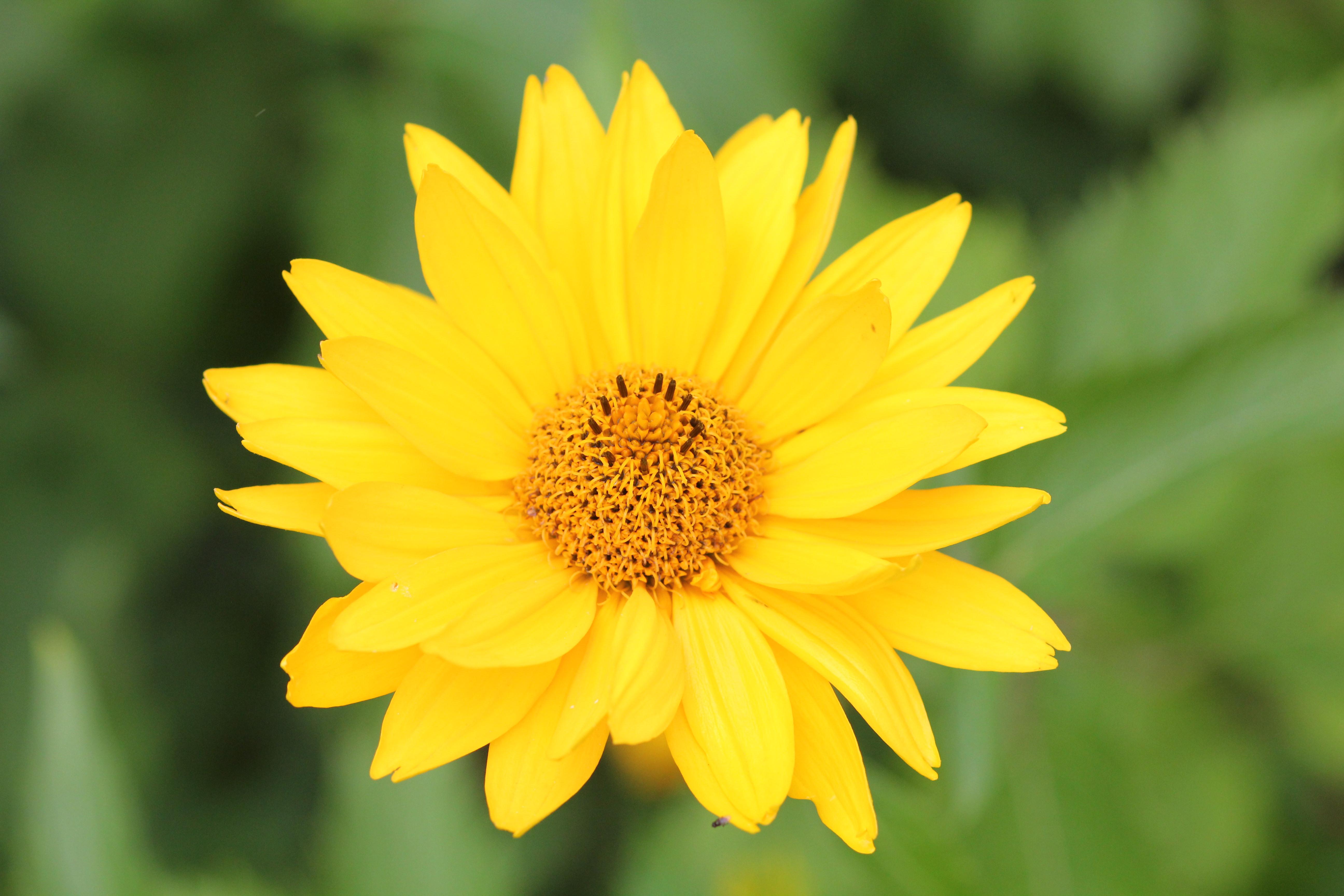 Filea Yellow Flower In Late Summerg Wikimedia Commons