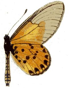 Acraea machequena.JPG