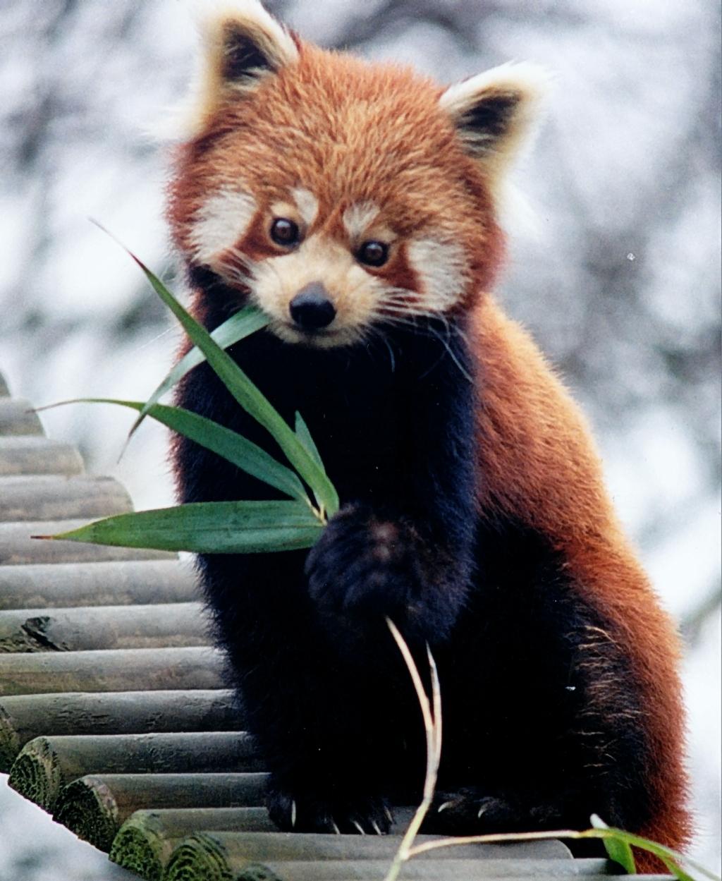 Kleiner Panda – Wikipedia