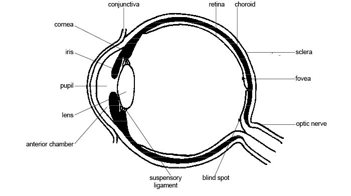 Anatomy and physiology of animals Structure of the eye.jpg