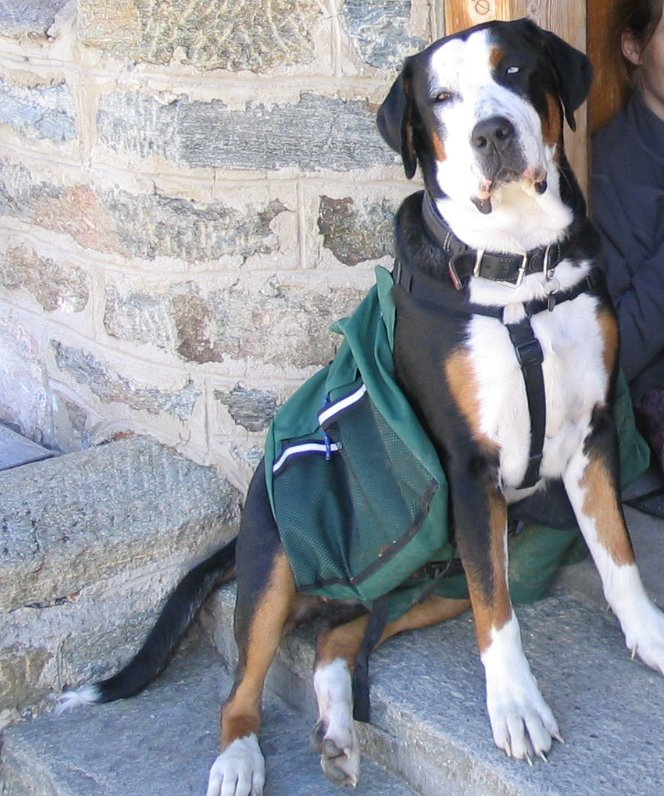 Greater Swiss Mountain Dog Can They Hunt