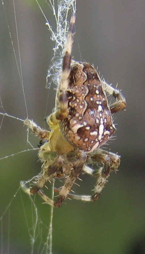 http://upload.wikimedia.org/wikipedia/commons/6/64/Araneus_diadematus_2005-08-18_01.jpg