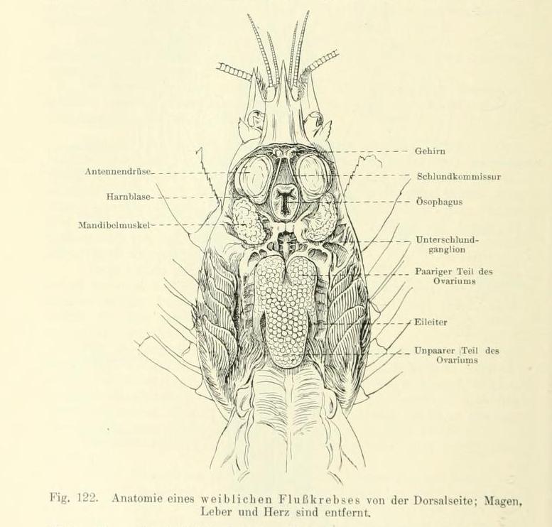 Fileastacus Anatomy 2g Wikimedia Commons