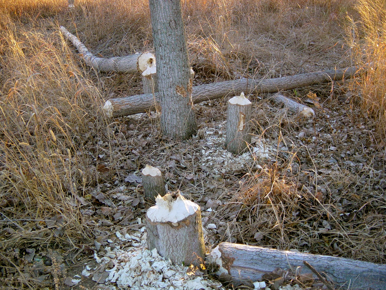 File beaver signs jpg wikipedia for Castor habitat