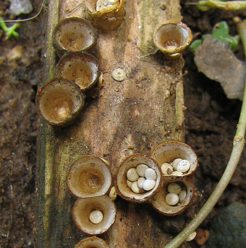 Bird's nest fungi - context.jpg