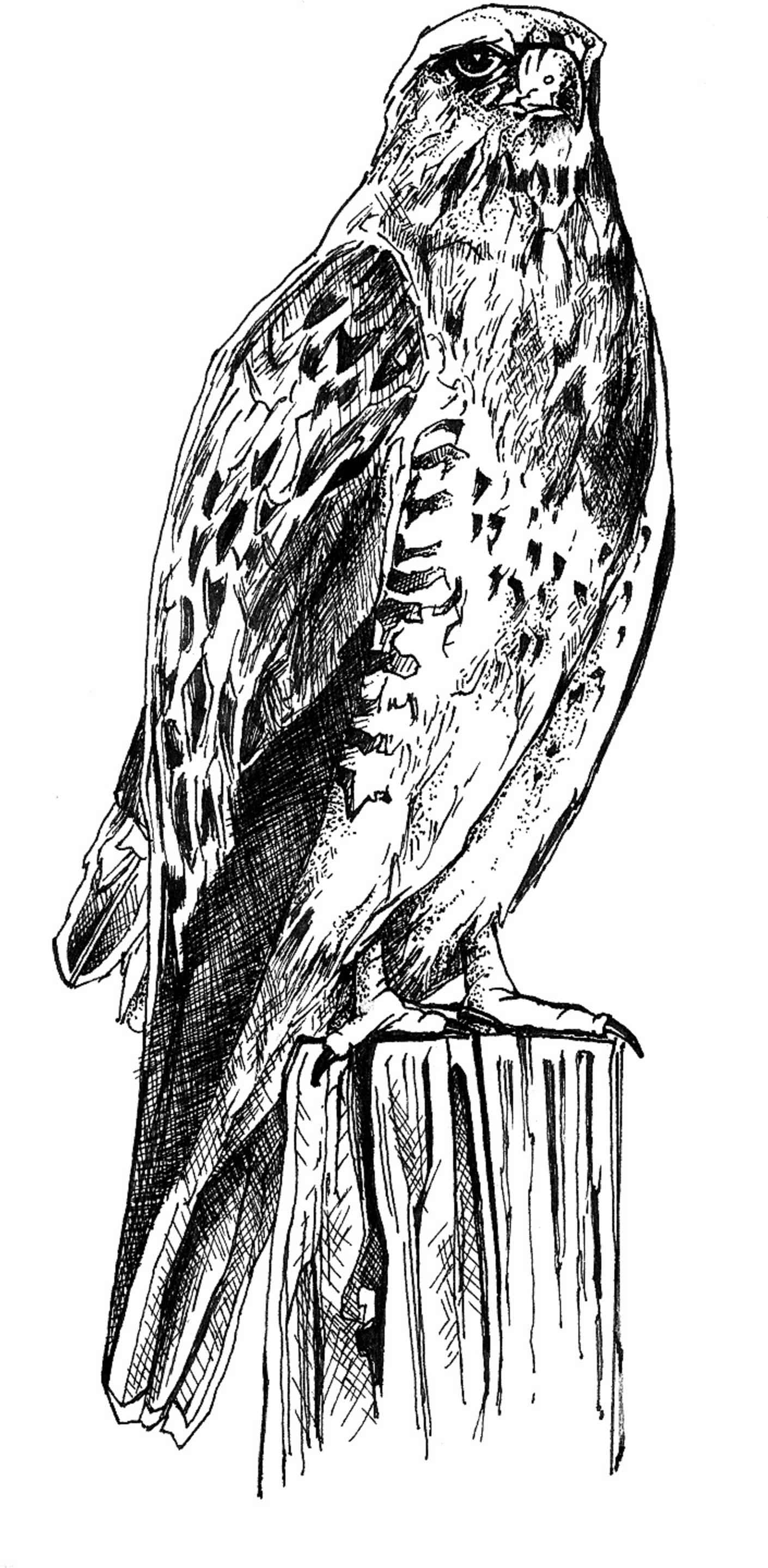file black and white line art drawing of bird body jpg wikimedia