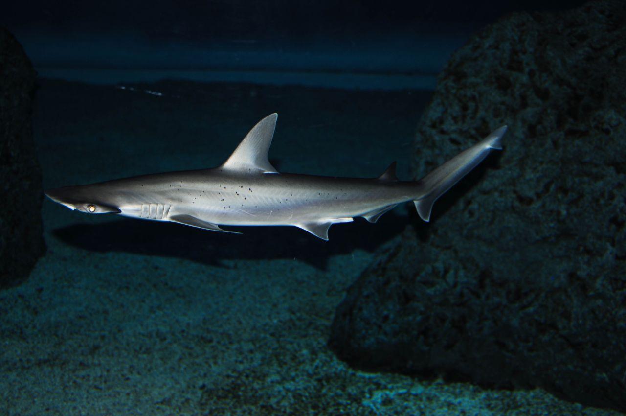 File:Bonnethead shark.jpg - Wikimedia Commons