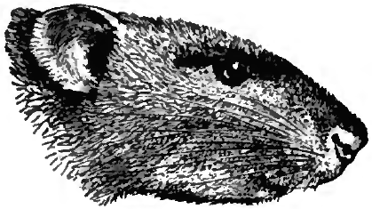 http://upload.wikimedia.org/wikipedia/commons/6/64/Britannica_Rat_-_Brown_Rat.png